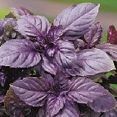 Albahaca Violetto Rubin - Plantita en Vaso 10  - Orto mio