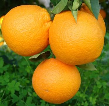 Naranja Fioroni ( Naranja de Ribera Navel ) Fioroni