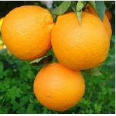 Naranja Fioroni ( Naranja de Ribera Washington) Fioroni