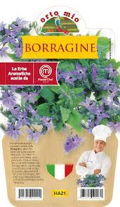 BORRAJA  - Plantita aromatica En vaso 14  - Orto mio